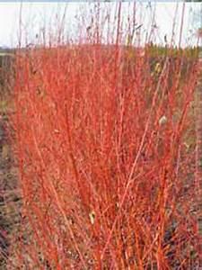 Glanzmispel Rote Blätter Fallen Ab : salix alba 39 chermesina 39 silber weide 39 chermesina 39 wei ~ Lizthompson.info Haus und Dekorationen