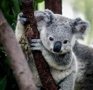 Download Pictures of Baby Koalas on Animal Picture Society