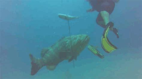 grouper goliath fisherman