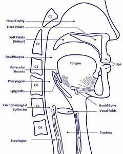 Oropharyngeal Anatomy