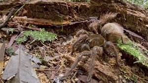Giant, Puppy-Sized 'Goliath Birdeater' Spider Found in ...