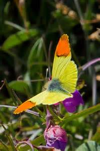 Morocco Orange Tip Butterfly