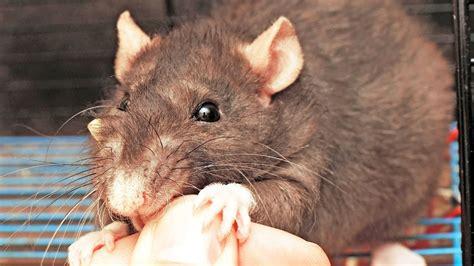 deal   rat  bites pet rats youtube