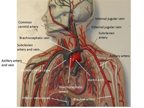 Differentiate among the structure of arteries, veins, and capillaries. Vascular System Models - Arteries, Veins, Blood Cells ...