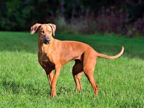 rhodesian ridgeback dog breed information buying advice