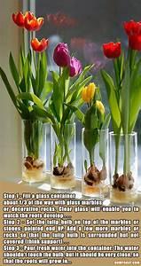 Tulpenzwiebeln Im Topf Pflanzen : die besten 25 tulpenzwiebeln ideen auf pinterest tulpen ~ Lizthompson.info Haus und Dekorationen