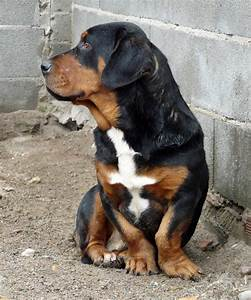 Basset Hound- Rottweiler Mix | Dogs I love | Pinterest ...