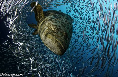 grouper goliath diving florida season guy harvey peaks south scuba outpost state nassau egan alan credit