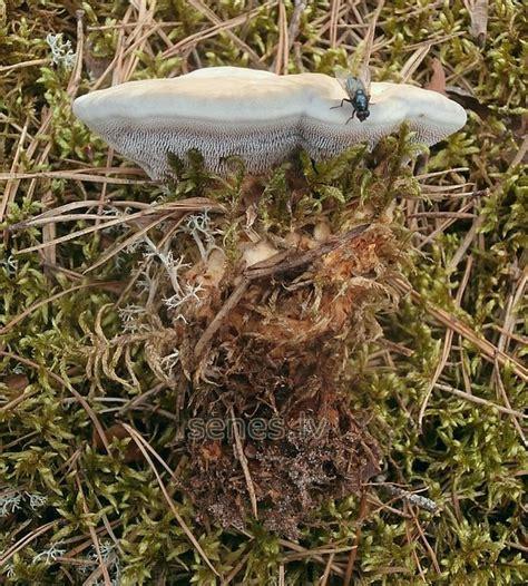 Latvijas sēnes - zilganā brūnzobe