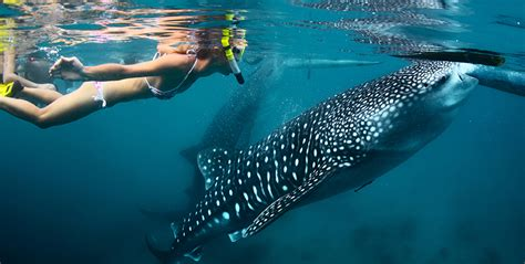 Dive With Whale Sharks Where To Dive Ethically With Whale Sharks In The