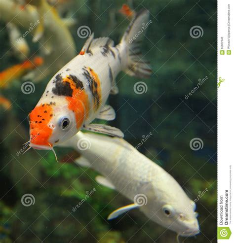 carpe koi en aquarium orange white koi carp stock image image of pond orange 65002343