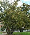 Meža krūmu stāva augi — teorija. Bioloģija, 7. klase.