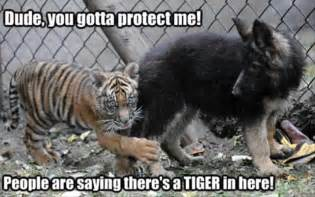 Tiger Funny Animal Pictures with Captions