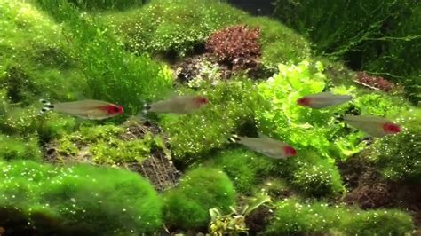 Aquascaping Tips by Aquascape Tips Riccia Moss Ludwigi Japan Fluitan
