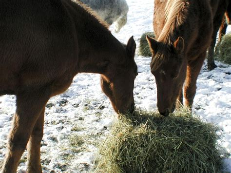 what do horses eat file horses eating hay jpg wikimedia commons