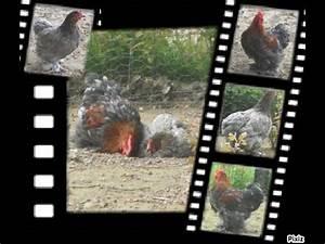 Comment Elever Des Poules : touts savoirs sur comment lever des poules youtube ~ Melissatoandfro.com Idées de Décoration