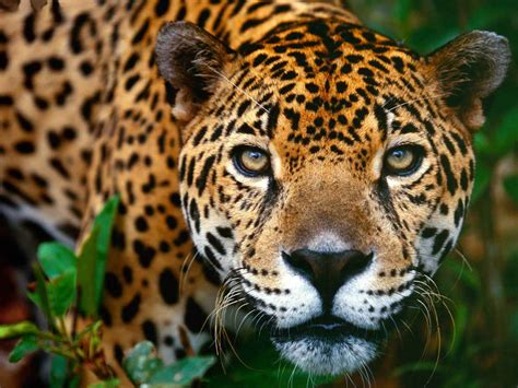 Jaguars Make A Comeback In Yucatán  The Yucatan Times