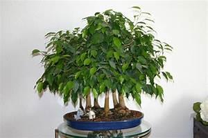 Chinesischer Geldbaum Kaufen : gibt es bonsai fans hier im forum uhrforum ~ Michelbontemps.com Haus und Dekorationen