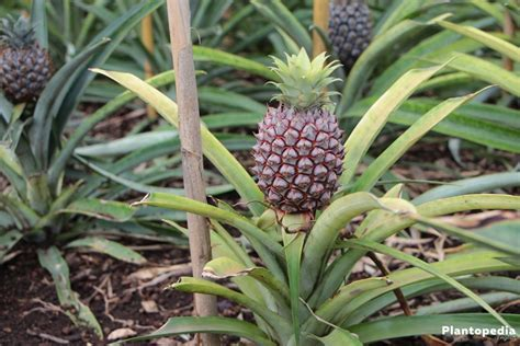 pineapple plant how to grow a pineapple at home plant care plantopedia