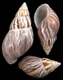 Japanese Land Snail Shells
