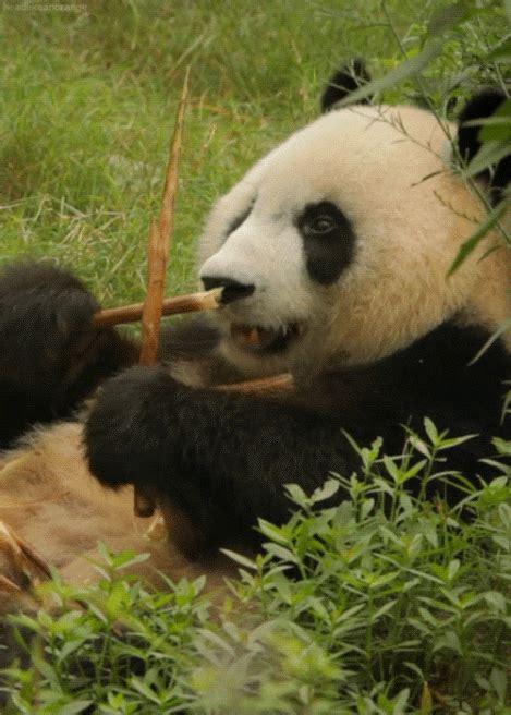 panda eating bamboo gif luvbat