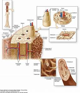 Compact Bone Diagram   Compact Bone Diagram Copyright The