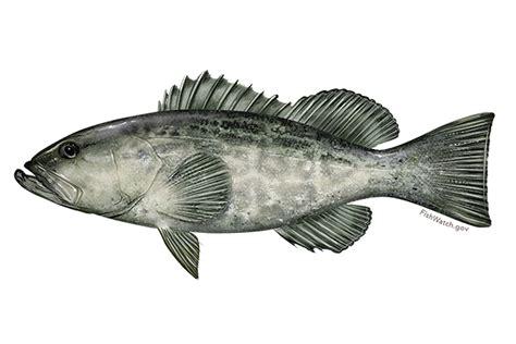 grouper southeast noaa rockfish species known fisheries