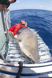 PHOTO: Giant Bull Shark Surprises Researchers