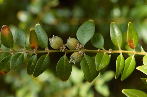 File:Buxus sempervirens CWikimedia Commons