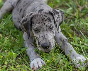 Great Dane Colors - The Colorful World of the Great Dane