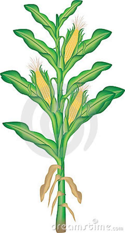 corn clipart pictures clipartix