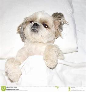 dog sleeping on a pillow in bed under the covers stock With dog beds under 10