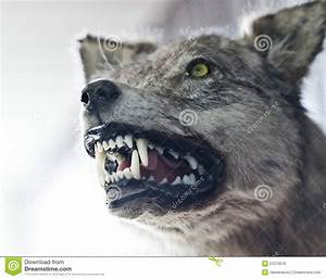 Angry Wolf Royalty Free Stock Photos - Image: 21273018