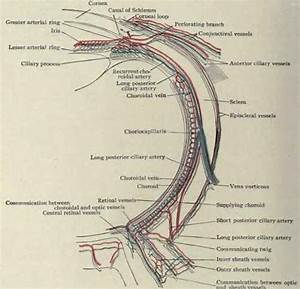The Eyeball And Optic Nerve  Part 4