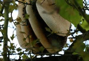 Honey Tree Bees Nest