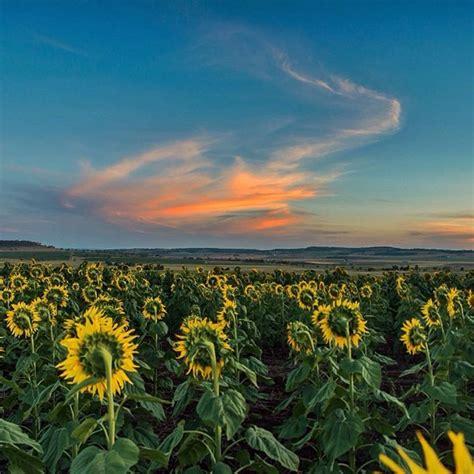 Summer Sunflowers In Full Bloom Gallery Queensland Blog