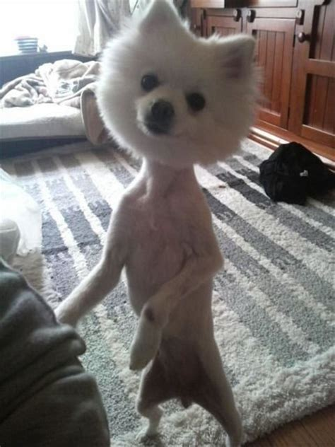 crazy dog haircut picture ebaums world