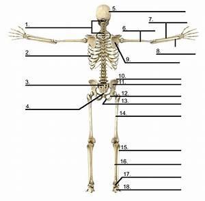 34 Label The Skeleton Bones