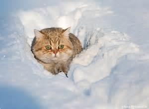 snow cats catsparella snow cat