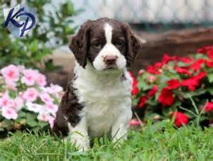17 best images about english springer spaniel on pinterest