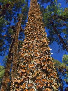 Monarch Butterfly Trees Mexico