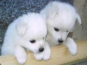 Cute Husky Puppies Desktop Wallpaper   I HD Images