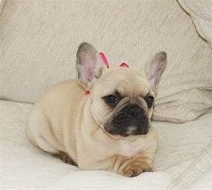 Cream Fawn Female French Bulldog puppy | Horncastle ...
