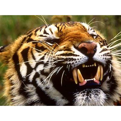 Bengal Tiger WallpapersFun Animals Wiki Videos