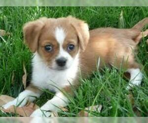 peagle breed information  pictures  puppyfindercom