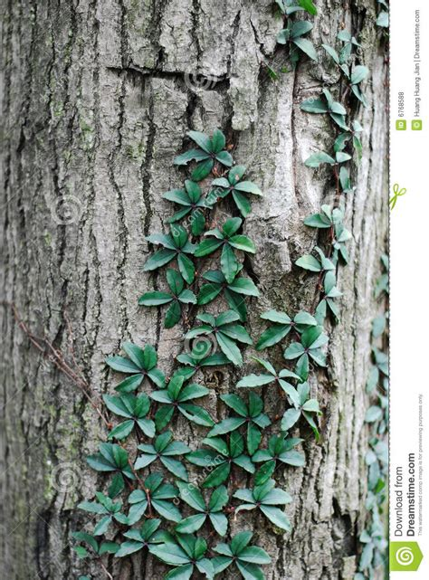 Vine Climbing A Tree Stock Photo Image Of Vegetation