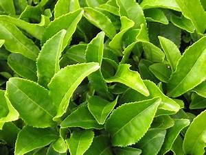 Bienfaits Du Thé Vert : th vert bio ~ Melissatoandfro.com Idées de Décoration