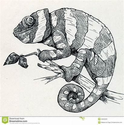Chameleon Drawn Sketch Chameleons Drawings Camaleonte Disegnato