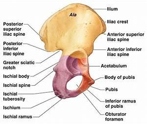 Labelled Diagram Of Hip Bone