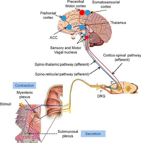 bidirectional brain gut axis   stimuli  applied